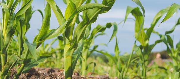 Výhody liadku pri druhom prihnojení kukurice! image