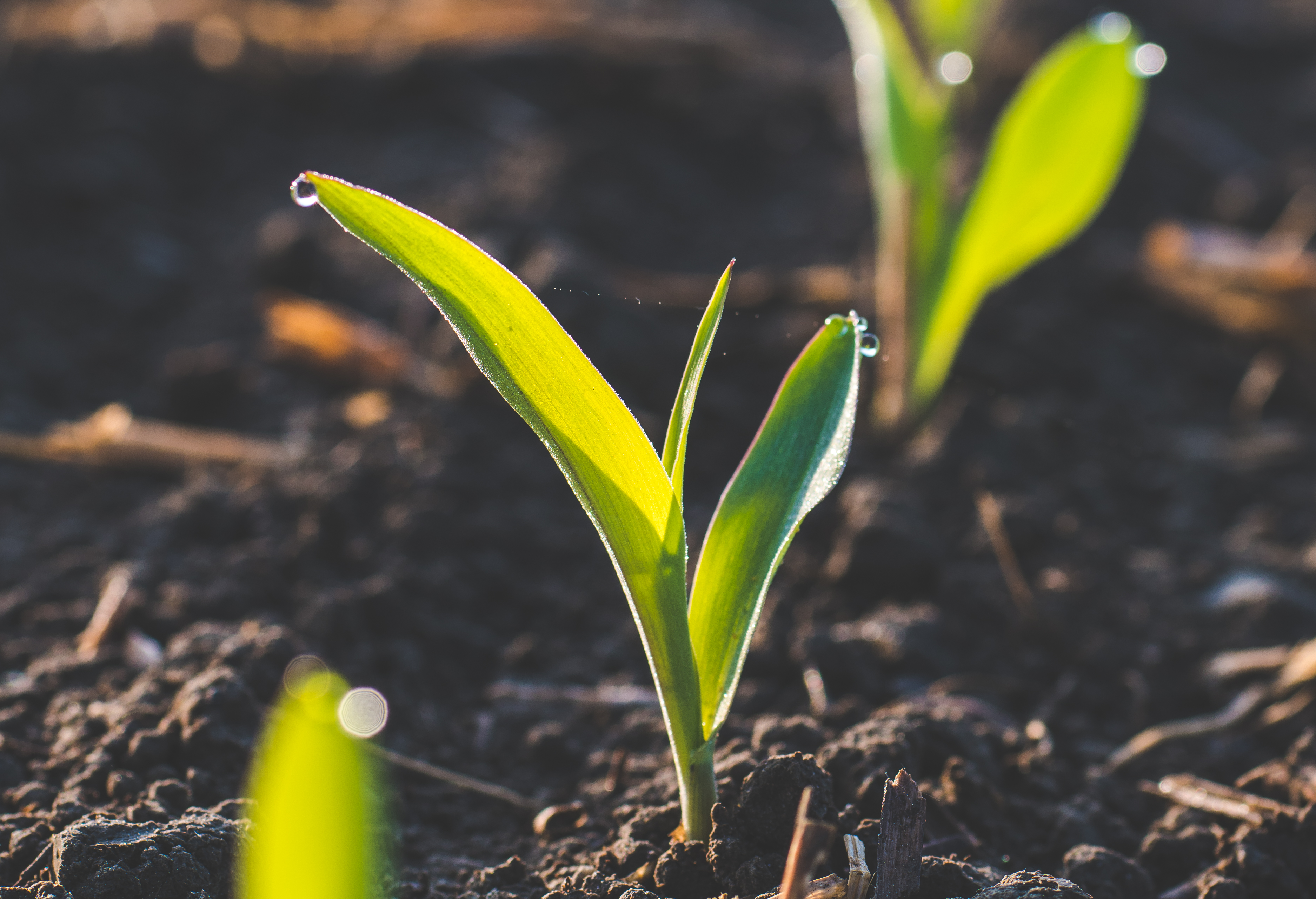 Správne hnojenie kukurice image